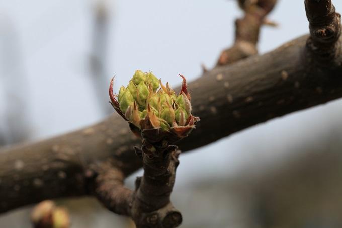 二十世紀梨の花芽3月25日2019