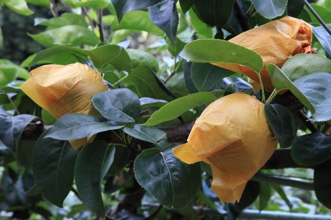 新水梨収穫前