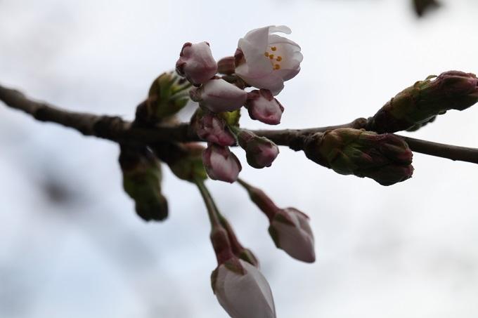 桜の開花2020